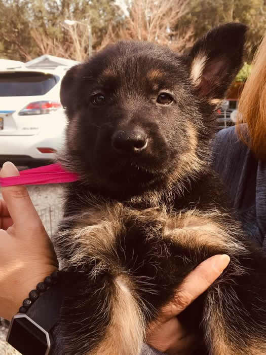 German Shepherd puppy training, socializing, crate training, how to be a handler to your puppy, potty training, house breaking, barking, and jumping are easy to teach or fix.