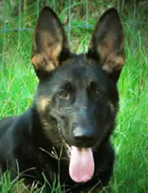 Popular comments about our German Shepherds; we strive to generate a bright, rich black and red color as often seen clearly in our library of headshot photos and an animated enthusiastic movement in our TOP DOGS.