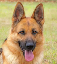 What to look for in a German Shepherd Dog?  Call us – we can help you with your search for your new family member.