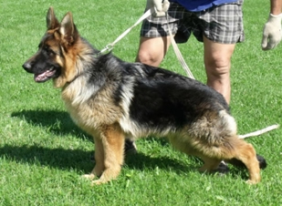 So many beautiful adult German Shepherd Dogs have crossed our path.  Many with show ring or field trial credentials - to finish off their lives with their perfect family.
