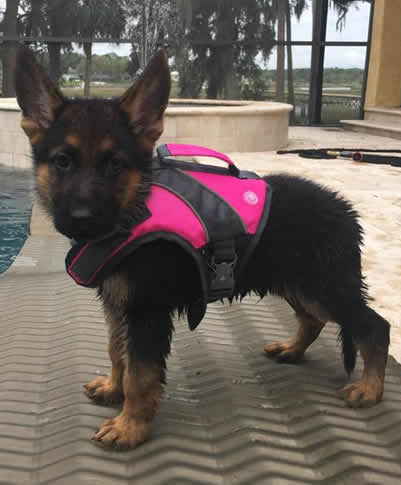 German Shepherd Puppy St. Augustine FL with life jacket for playing in the pool