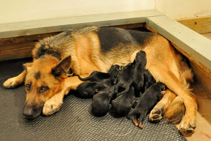 German Shepherd Puppy Litters can grow up to become loyal, loving, faithful, courageous, protective companions for the entire family.