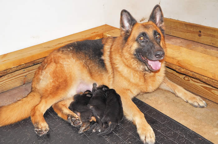 German Shepherd Puppy Litters can grow up to become loyal, loving, faithful, courageous, protective companions for the entire family.  We raise and sell Top Dog quality German Shepherds with World Champion Bloodlines.  Learn more today!